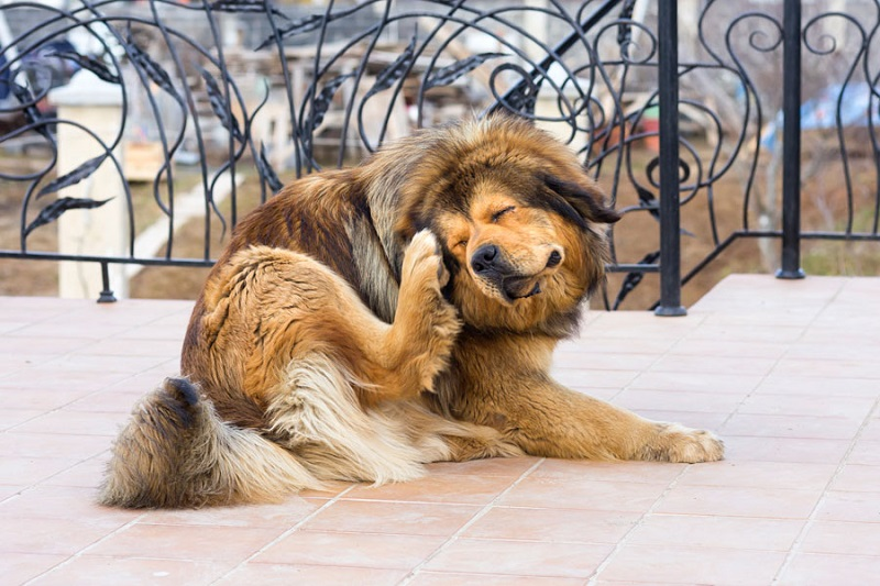 How to tell if your dog has mange